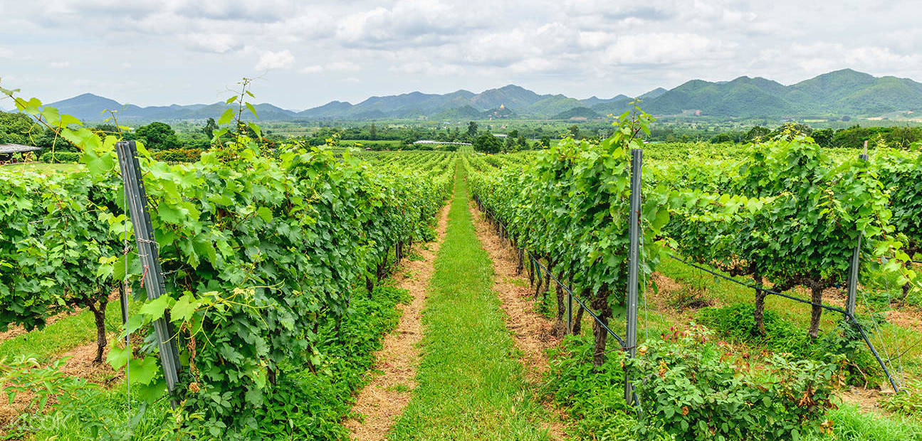 Since 1995 a group of winemakers has established a thriving Thai Wine Industry.